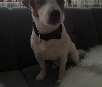 Jack russell'i terjer