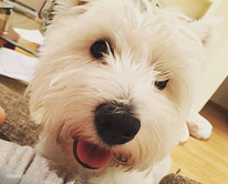 West Highland White Terrier paaritamiseks