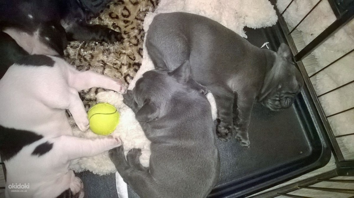 French Bulldog Puppies Harlow Essex Pets Dogs Buy And