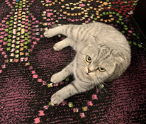 Scottish Fold paaritumine